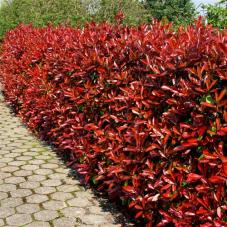 Photinia Hedge