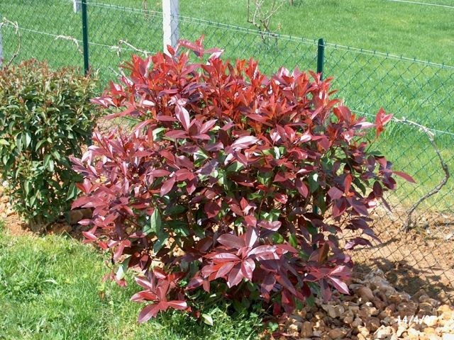 Photinia Shrub