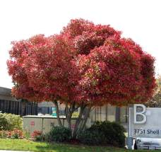Photinia Tree