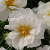 Portulaca Happy Hour Coconut