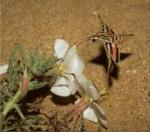 Hawkmoths and Flowers