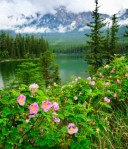 Alberta Wild roses and mountain lake in Jasper National Park