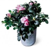 potted azalea from Grower Direct Fresh Cut Flowers
