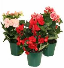 Begonia Facts For Kids