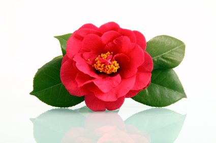 Fun Flower Facts Camellia Grower Direct Fresh Cut