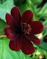 chocolate Cosmos atrosanguineus 'Chocamocha'