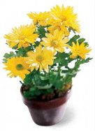 chrysanthemum flower pot