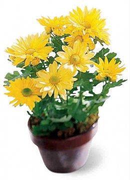 chrysanthemum flower pot