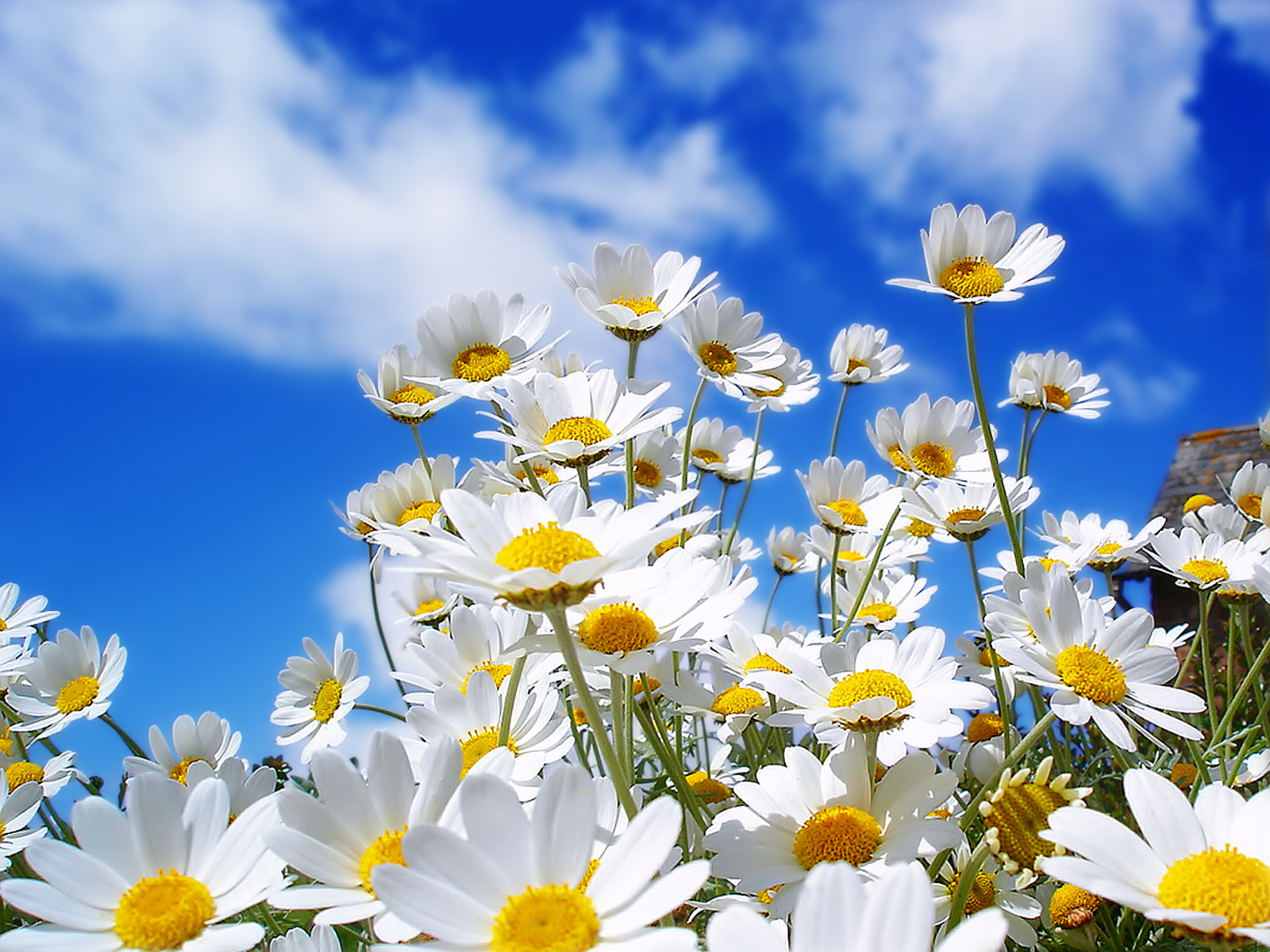 Hd wallpaper net - Daisies Desktop Wallpaper