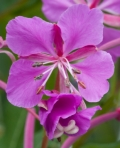 Yukon Flower Fireweed