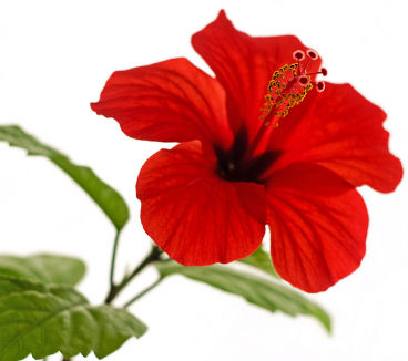 13 fascinating uses for hibiscus grower direct fresh cut flowers