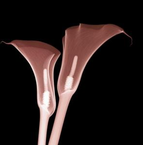 Hugh Turvey x-ray arum lily