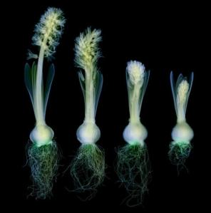 Hugh Turvey x-ray Hyacinths