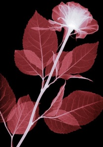 Hugh Turvey xray of a rose
