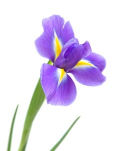 Quebec's provinical flower, blue flag iris