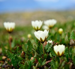 Northwest Territories official flower, Mountain Aven