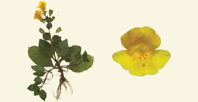 Mimulus peregrinus, yellow monkey flower