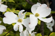 pacific dogwood provincial flower of british columbia