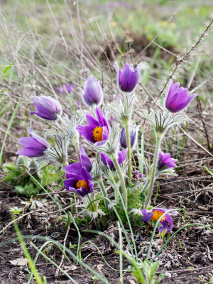 Manitoba provincial flower prairie crocus; pasque flower