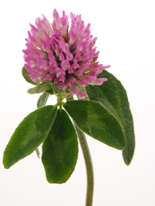 red clover (Trifolium pretenseis)