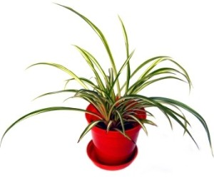 air purifying spider plant (Chlorophytum comosum)