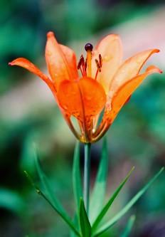 Saskatchewan's provincial flower, Western Red Lily