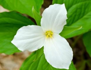 Ontario Provincial Flower White Trillium