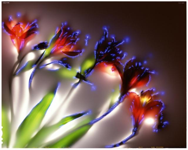 alstroemeria image by robert buelteman
