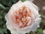 betty white rose