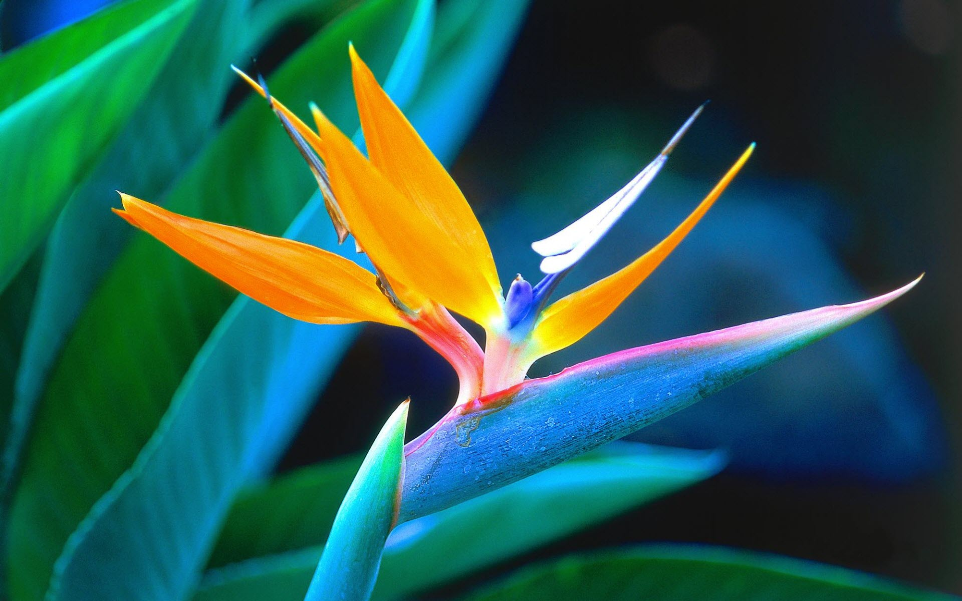 Freebie friday beautiful flower desktop wallpapers grower direct bird of paradise desktop wallpaper izmirmasajfo