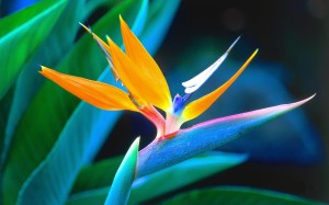 bird of paradise desktop wallpaper