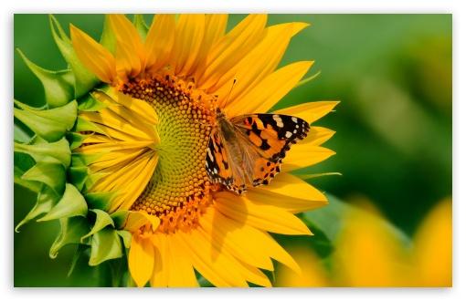 Sunflower desktop wallpaper