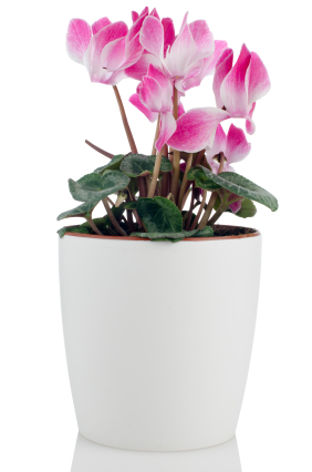 Beautiful pink Cyclamen flower