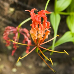 flame lily gloriosa