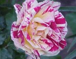 george burns rose