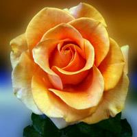 marilyn-monroe rose