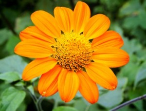 mexican sunflower tithonia rotundifolia