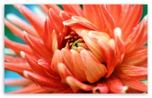 orange_passion dahlia