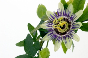 Purple Passionflower, passiflora