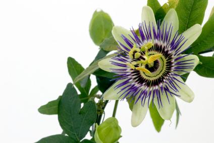 Purple Passionflower, passiflora