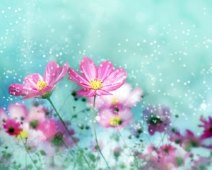pink cosmos desktop wallpaper