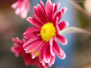pink daisy desktop wallpaper
