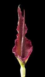 voodoo lily, dracunculus vulgaris