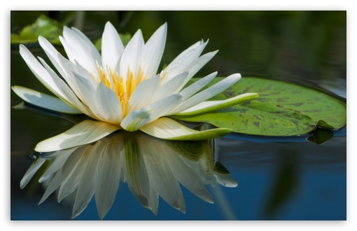 water lily desktop wallpaper