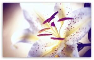 tiger lily desktop wallpaper