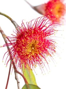 eucalyptus flower, red flowering gum tree