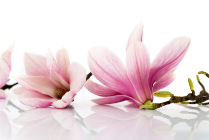 10 Uses For Magnolia Grower Direct Fresh Cut Flowers
