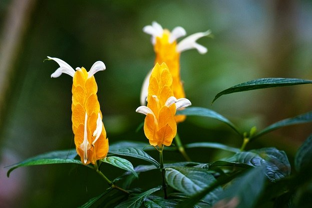 pachystachys lutea, lollipop-plant, golden-shrimp plant
