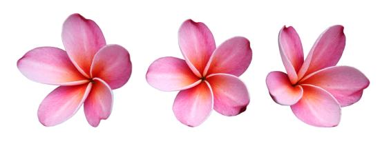 Fun Flower Facts Plumeria Grower Direct Fresh Cut Flowers Presents