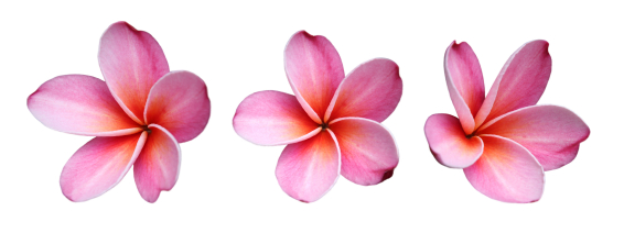 Fun Flower Facts: Plumeria | Grower Direct Fresh Cut ...